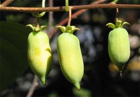Actinidia polygama oder der Japanische Strahlengriffel