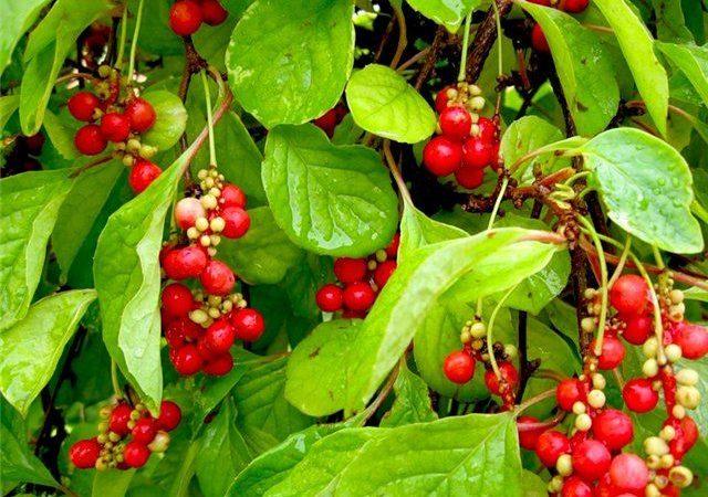 Getrocknete Schisandra chinensis-Beeren (Chinesischer Limonenbaum)
