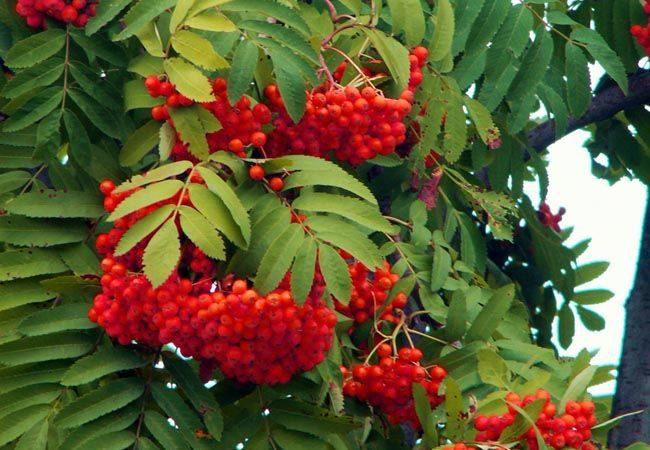 Naehrwerte, Inhaltsstoffe und Wirkung roter Eberesche